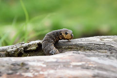 Deilephila elpenor - big caterpillar crawling on wood Stock Photography