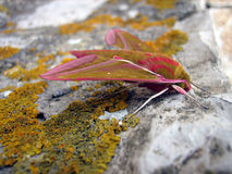 Deilephila elpenor. A elephant hawk-moth sitting on a moss overgrown rock Stock Photos