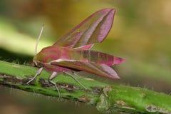 deilephila elpenor hawkmoth Obraz Royalty Free
