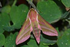 deilephila elpenor hawkmoth Fotografia Stock
