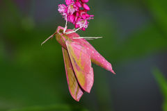 deilephila elpenor hawkmoth menchie Fotografia Stock