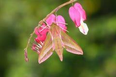 deilephila elpenor jastrzębia ćma Obraz Stock