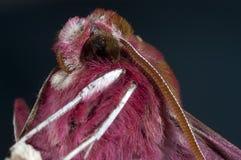 Deilephila för hökmal porcellus arkivbild