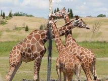 Deixe o ` s fazer girafas de um nó imagens de stock