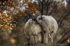 Deja ovejas juntas foto de archivo