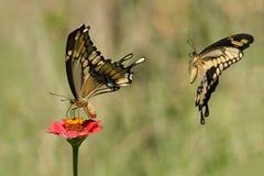 Deja para conseguirlo en (gigante Swallowtails) fotografía de archivo