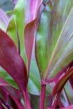 Deja una especie tropical de la planta del canna - vertical fotos de archivo