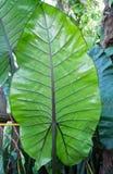 Deje la textura caladium verde Foto de archivo libre de regalías