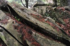 Dekadent kamferträd-Cinnamomum camphora arkivbilder