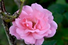 Dekadent rosa färgros på sinande sommar arkivfoto