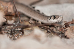 DeKays Brown Snake Stock Images