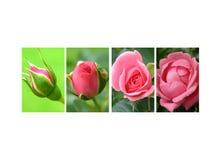 Dekking van rozen Stock Foto's