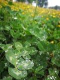 Dekkingsbladeren met dauwdalingen stock foto