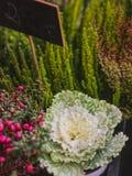 Dekoracyjna biała ornamentacyjna kapusta w jesieni fotografia stock