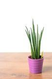 Dekoracyjna domowa roślina Zdjęcie Royalty Free