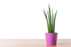 Dekoracyjna domowa roślina Fotografia Stock