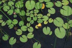 Dekoracyjna fotografia Lotus/Wodnej lelui liście na wody powierzchni Obrazy Royalty Free