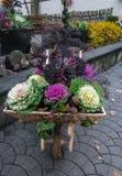 Dekoracyjna lila kapusta od którego zrobi kwiatu przygotowania zdjęcie royalty free