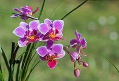 Dekoracyjna menchii i białej pasiasta orchidea Obrazy Royalty Free