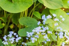 Dekoracyjna ogrodowa roślina z małymi błękitnymi kwiatami Obrazy Royalty Free