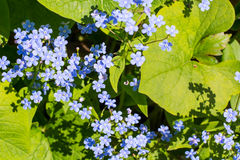 Dekoracyjna ogrodowa roślina z małymi błękitnymi kwiatami Fotografia Royalty Free