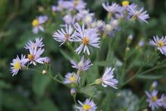 Dekoracyjna ogrodowa roślina z purpurowymi kwiatami Zdjęcia Royalty Free