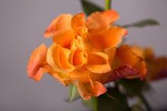 Dekoracyjna pomarańcze róża Fotografia Royalty Free