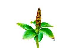 Dekoracyjna roślina odizolowywająca zdjęcia stock