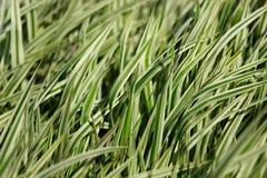 dekoracyjna trawa Fotografia Stock