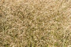 Dekoracyjna trawy roślina, ziele w jesieni lub Fotografia Royalty Free