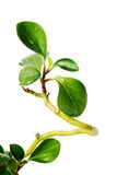dekoracyjna zieleń leafs drzewo Fotografia Royalty Free