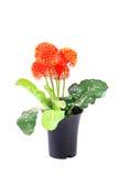 Dekoracyjna zielona roślina Fotografia Royalty Free