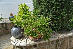 Dekoracyjne rośliny w kwiatu garnku Obraz Stock