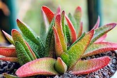 Dekoracyjnej aloesu Vera rośliny gliniany garnek indoors Obrazy Royalty Free