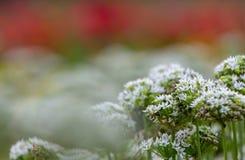 Dekoracyjni cebula kwiaty w bielu i menchiach barwią, allium zdjęcie stock