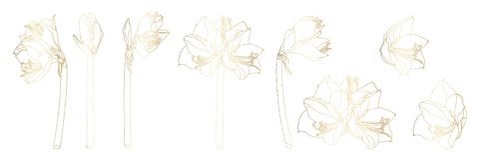 Dekoracyjni kreskowi złoci clivia amarylka gałąź kwiaty ustawiają, projektów elementy ilustracji