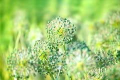 Dekoracyjni kwiaty cebula w lato ogródzie Zdjęcie Stock