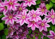 DEKORACYJNI kwiaty CLEMATIS W wiosna ogródzie Zdjęcia Royalty Free