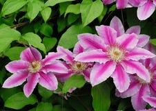 DEKORACYJNI kwiaty CLEMATIS W wiosna ogródzie Fotografia Royalty Free