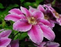 DEKORACYJNI kwiaty CLEMATIS W wiosna ogródzie Obraz Stock