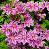 DEKORACYJNI kwiaty CLEMATIS W wiosna ogródzie Fotografia Stock