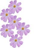 dekoracyjni rumianków kwiaty Zdjęcie Stock