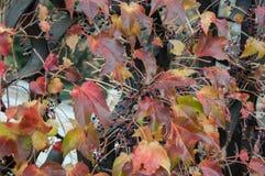 Dekoracyjni winogrona na ogrodzeniu Obraz Royalty Free