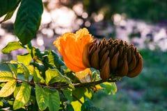 Dekoracyjny afrykański tulipanowego drzewa kwiatu płomień lasowy Tobago Karaiby Fotografia Stock
