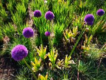 Dekoracyjny Allium - dekoracyjna cebula obraz stock
