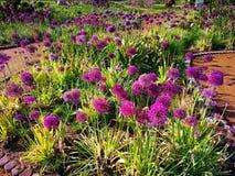 Dekoracyjny Allium - dekoracyjna cebula fotografia stock