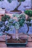 Dekoracyjny drewno Biurowy drewno Salowy drewno conifer Fotografia Royalty Free