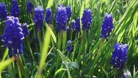 Dekoracyjny fiołkowy muscari neglectum kwiatu okwitnięcie w wiośnie Piękno natura i wibrujący kolory zbiory wideo