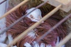 Dekoracyjny gołąb w klatce Zdjęcie Royalty Free