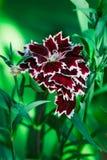 Dekoracyjny goździka kwiat na zielonym tle Zdjęcie Stock